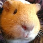 Waffles the guinea pig