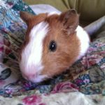 Nibbles the guinea pig